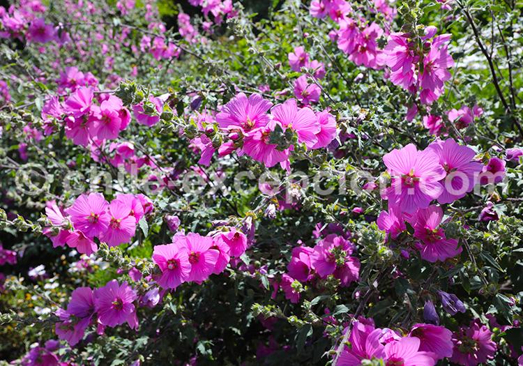 Parterre de fleurs, Nord du Chili