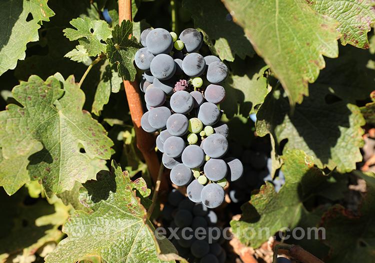 Raisin dans les vignes chiliennes avec l'agence de voyage Chile Excepción