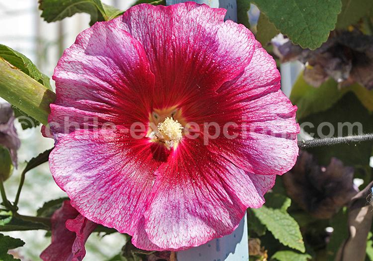 Fleur du Chili
