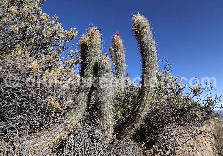 Cactus, désert semi aride du Chili