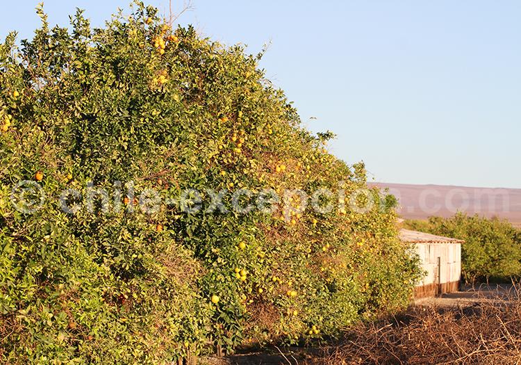 Orangers, Pica et Matilla, Chili