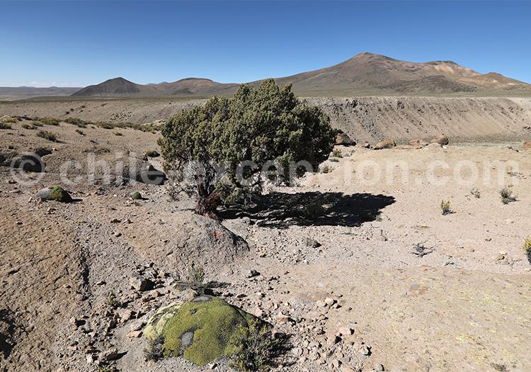 Arbuste du Nord du Chili