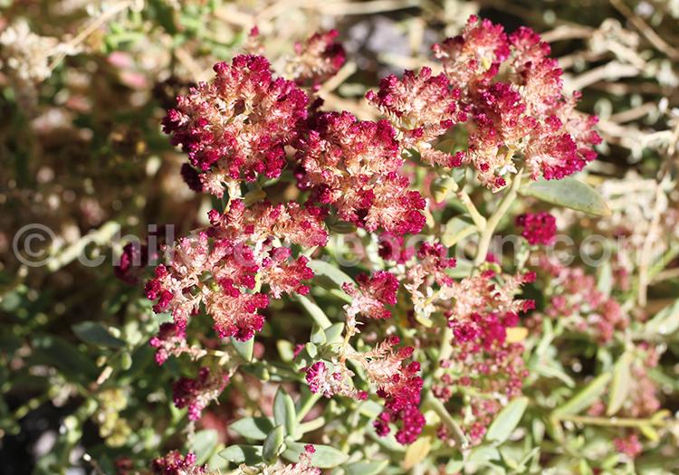 Flore autour de Codpa, Chili