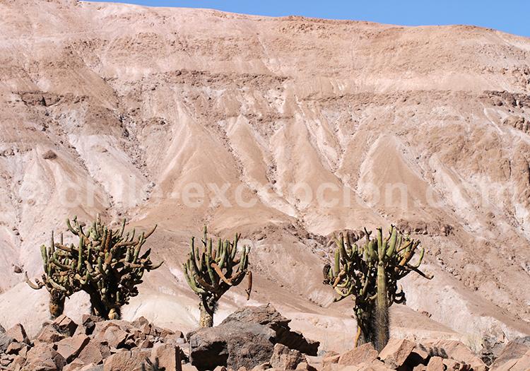 Cactus de l'Altiplano, Chili