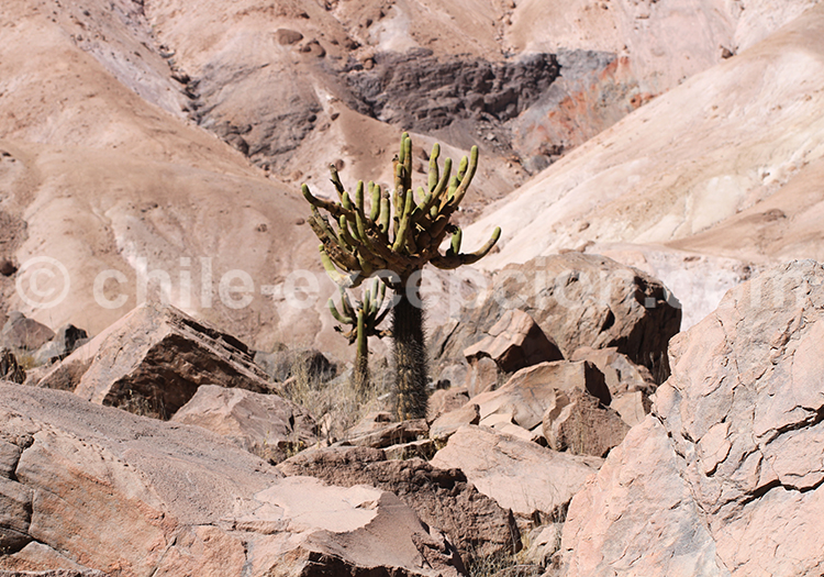 Végétation dans le désert de la vallée de Camiña, Chili
