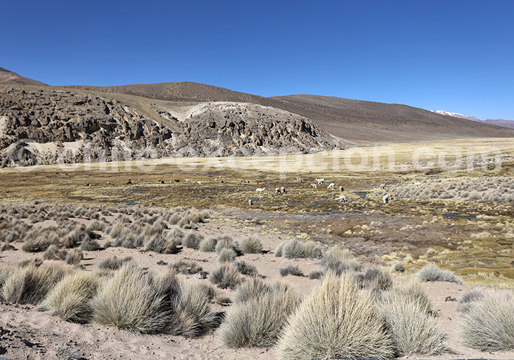 Traversée des bofedales de Caquena, Chili