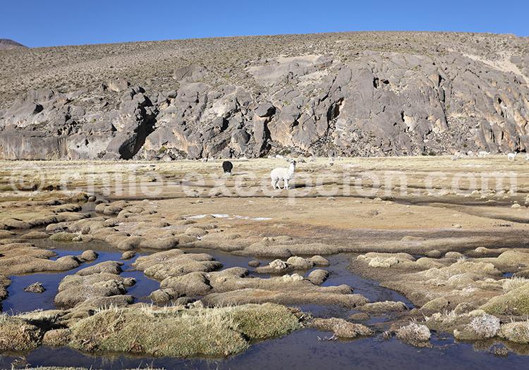 Écosystème des bofedales de Caquena, Chili