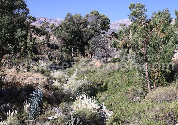 Végétation du désert, Belén, Nord du Chili