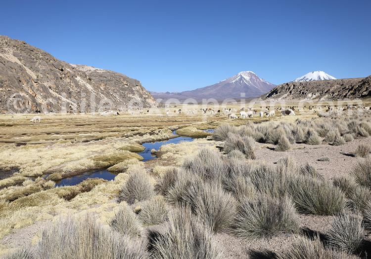 Découverte des bofedales de Caquena, Chili
