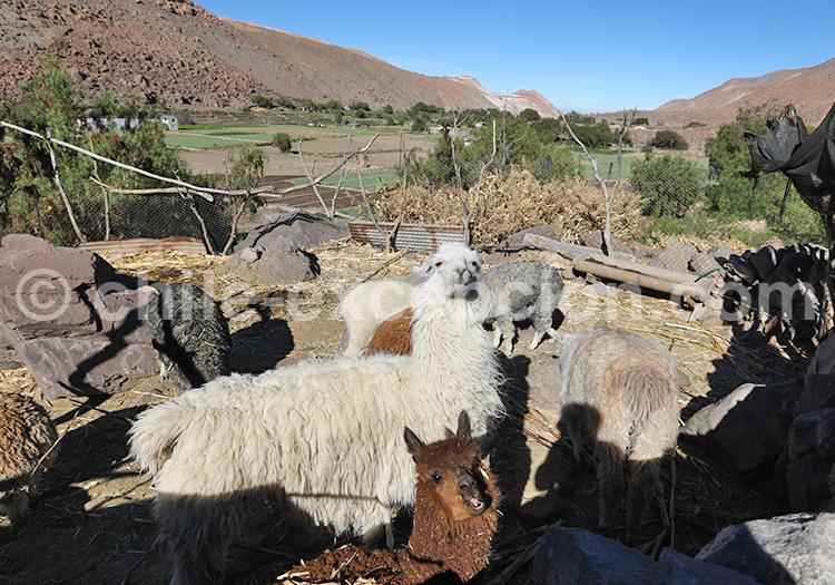 Élevage de lamas, Camiña