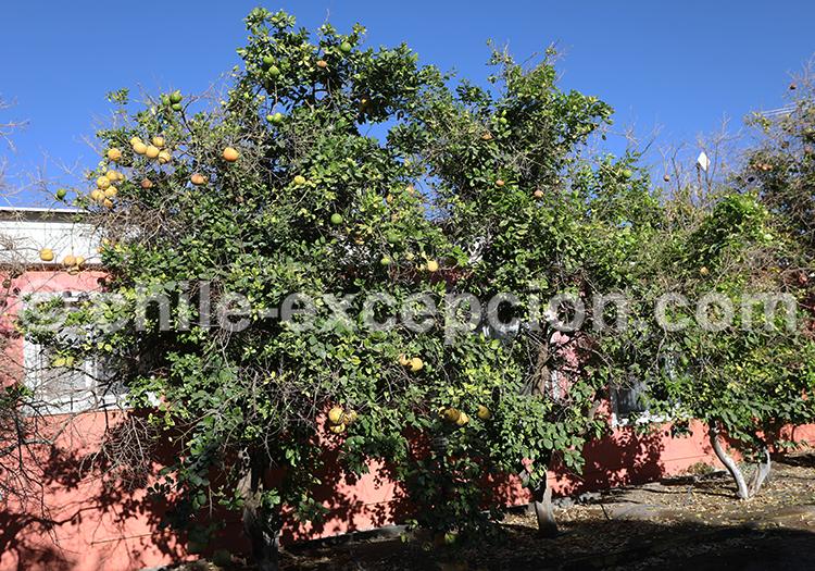 La botanique à Pica et Matilla, Chili