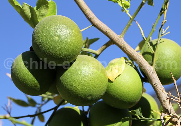 Les citrons de Pica et Matilla, Chili