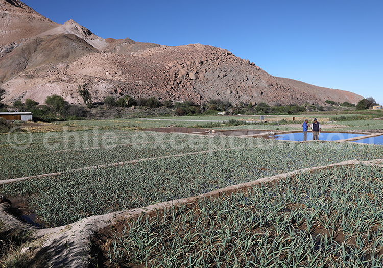 Agriculture traditionnelle à Camiña, Chili