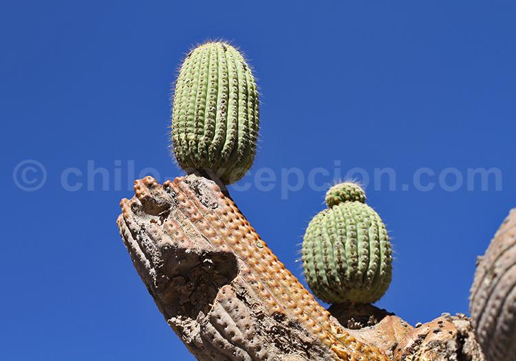 Cactus of Chile, Codpa
