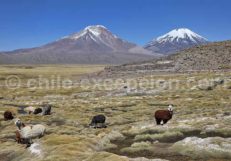 Traversée des Andes et des bofedales de Caquena, Chili