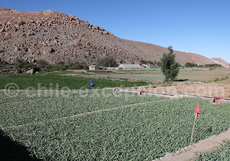 Agriculture dans le Nord du Chili