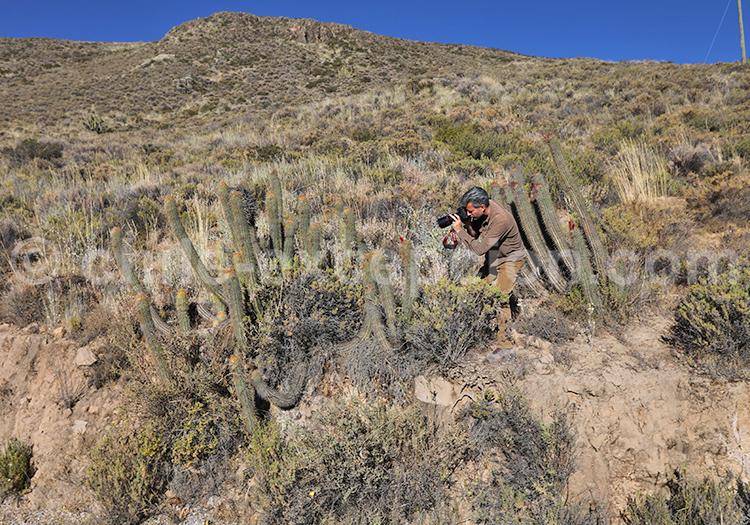 Reportage photos, cactus du Nord du Chili