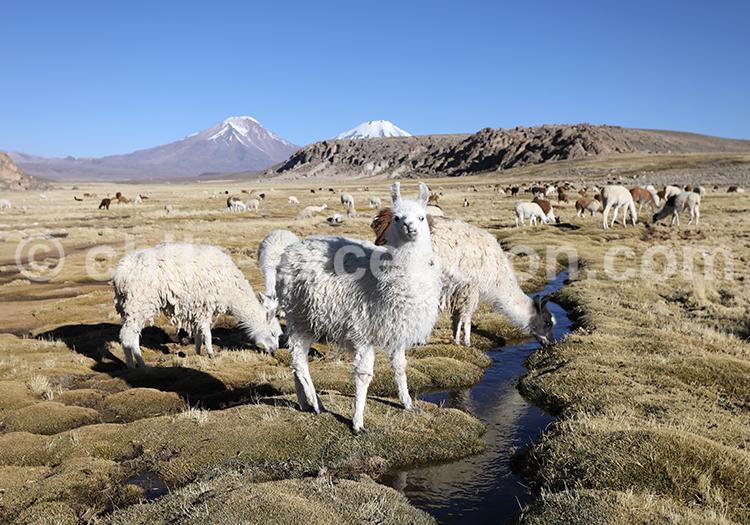 Rencontre avec les animaux des Andes, Nord du Chili
