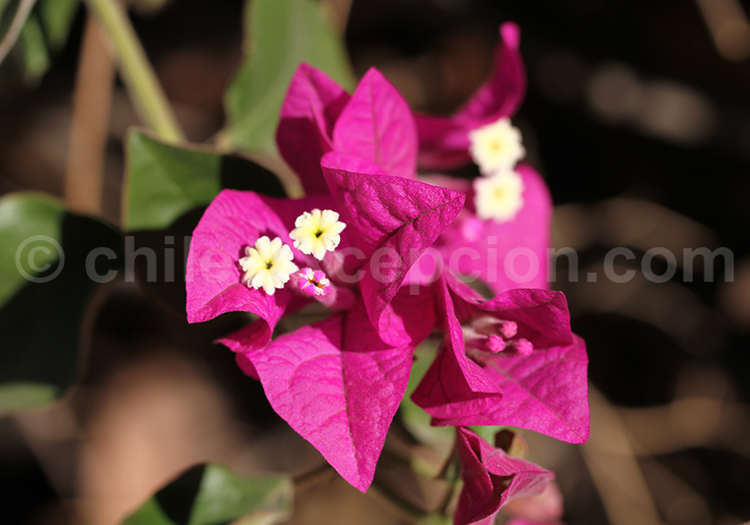 Flore chilienne