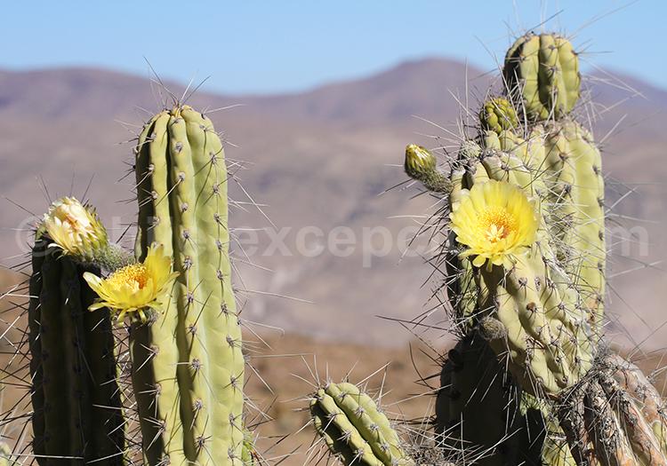 Cactus en fleur, Codpa, Chili