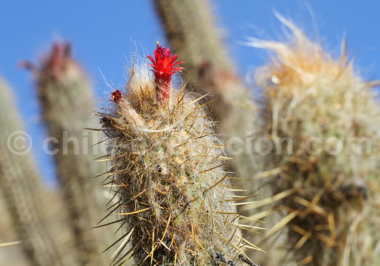 Cactus à Codpa, Chili