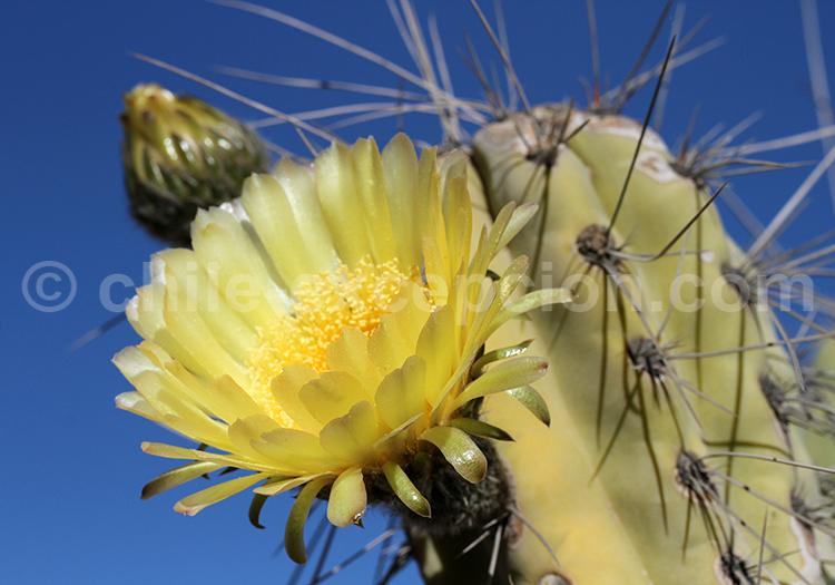 Cactus en fleur, Chile