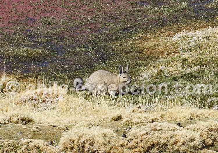 Viscacha, Codpa
