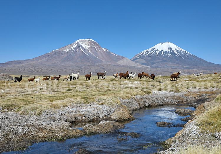 Les lamas, la magie des Andes, Chili