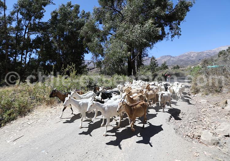 Voyage dans l'altiplano, Codpa et Putre