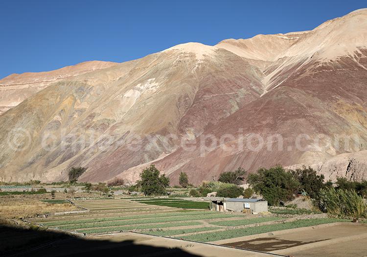 Moquella, vallée de Camiña, Chili