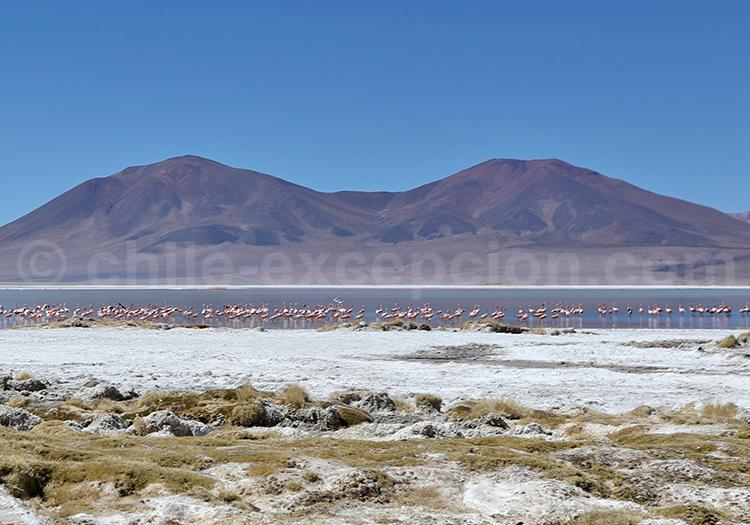 Faune aviaire, Salar de Huasco, Nord du Chili