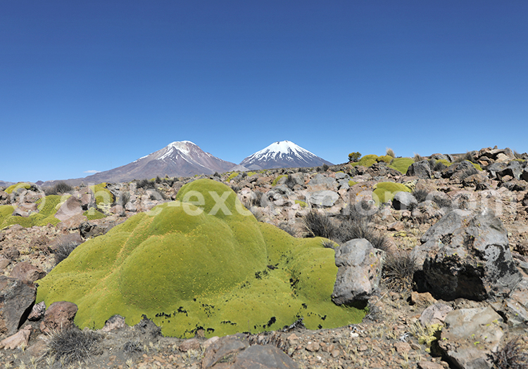 Arbuste, flore des Andes, Chili