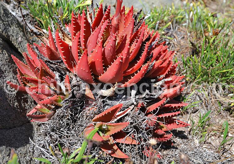 Flore de Zapallar, Chili
