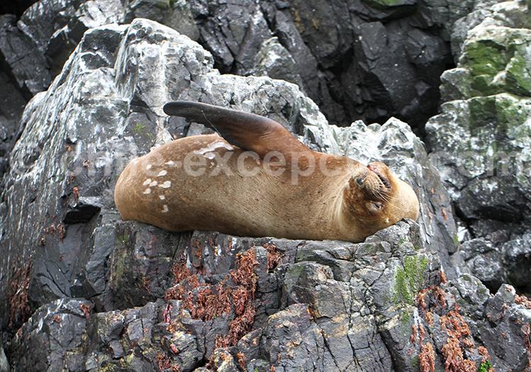 Lion de mer, Punta de Choro