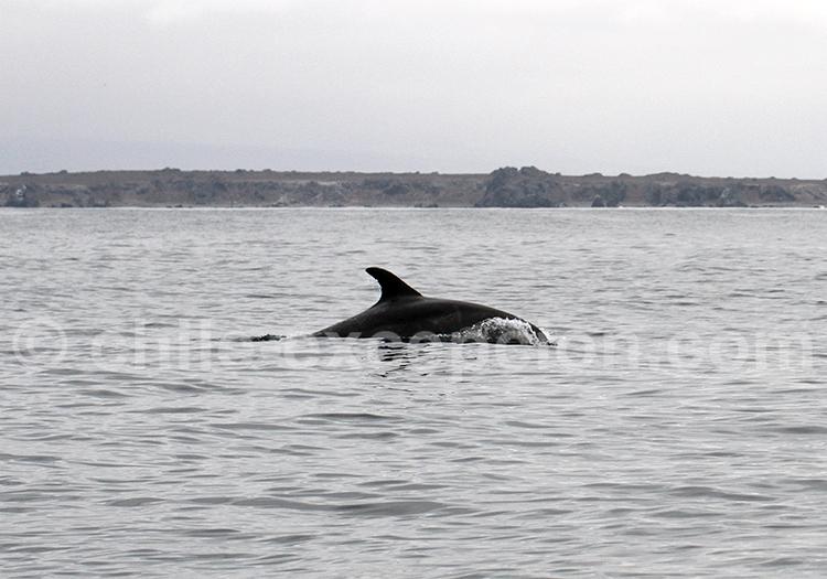 Tour, observation, grands dauphins, Nord du Chili