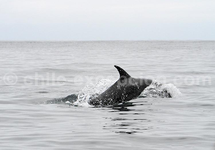 Safari photographique, faune marine du Chili