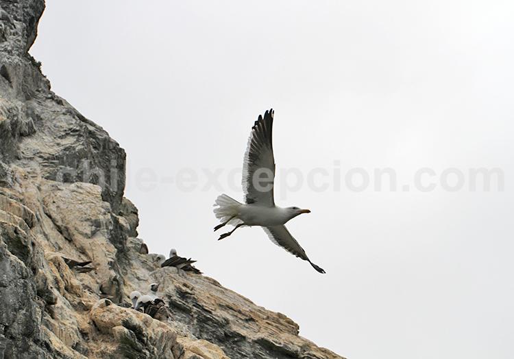 Isla Chañaral de Aceituno, Chile
