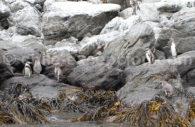 Réserve Pinguino de Humbolt