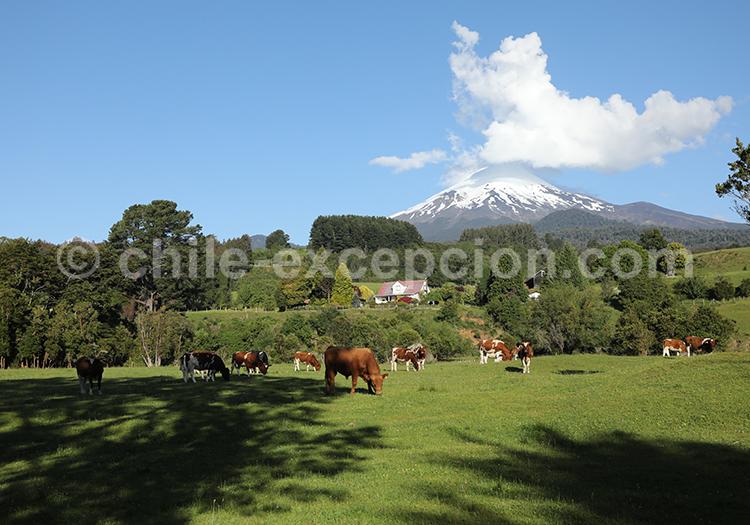 Vaches paissant dans les prés, volcan Osorno