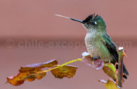 Humming bird, Argentina