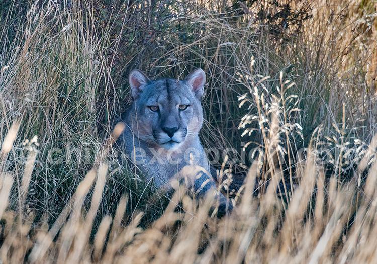 Puma, Chacabuco Valley