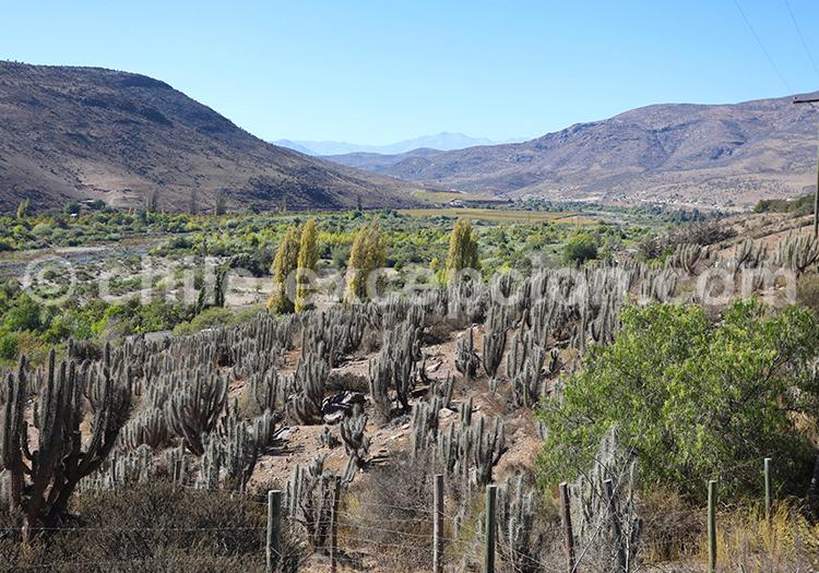 Cactus, Ovalle