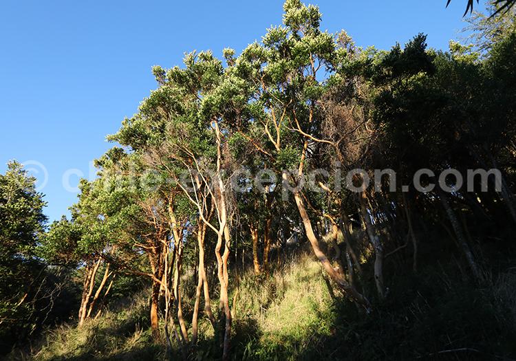 Arrayán, arbre natif du Chili