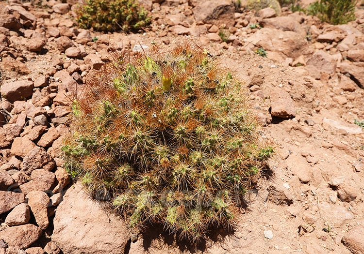 Tunilla fruit du désert d'Atacama