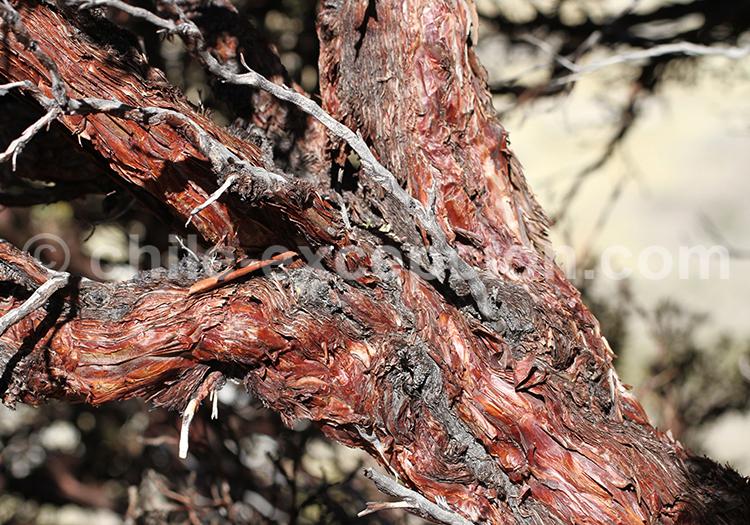Écorce d'arbre, safari photographique au Chili