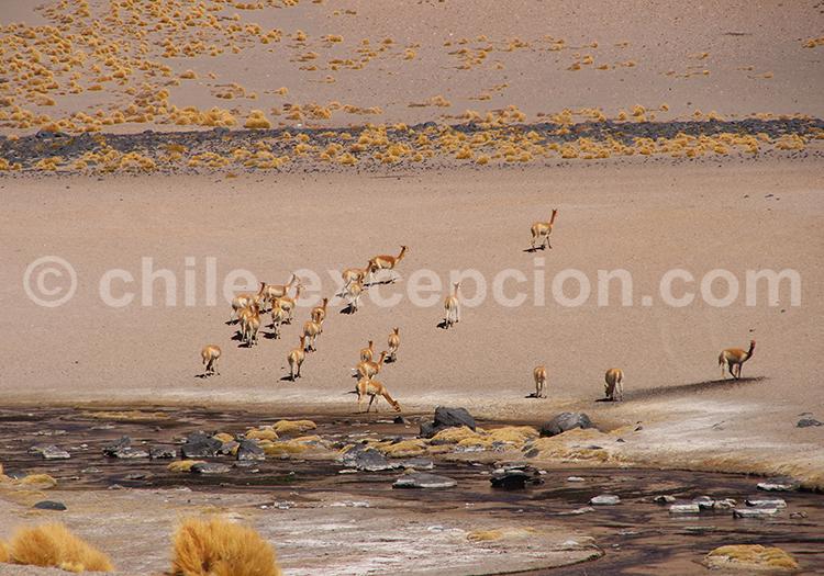 Vicuñas, Atacama
