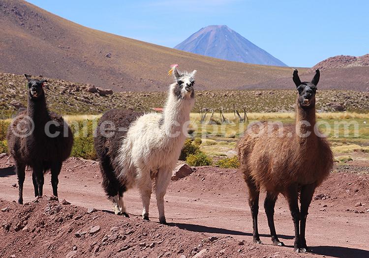 Lamas, Atacama