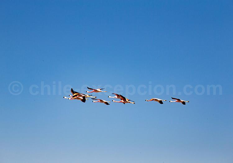 Faune, San Pedro de Atacama