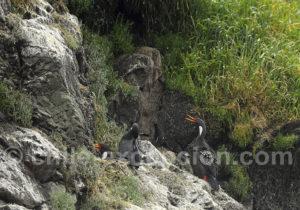 Cormorans de Gaimard, îlots de Puñihuil