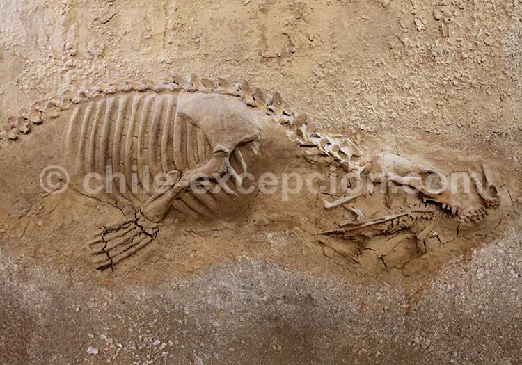Fossile de dinosaure, parc paléontologique de Bahia Inglesa
